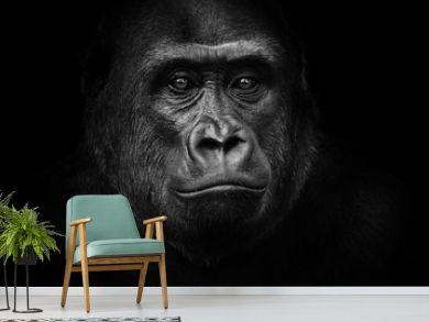 Black and white gorilla