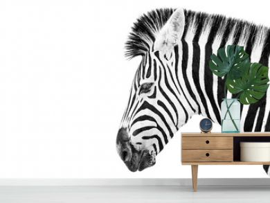 Burchells Zebra on a white background