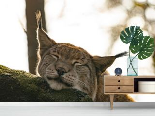 portrait of a lynx looking cute and sleepy