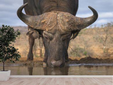Drinking Buffalo Low Angle