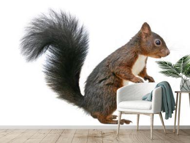 Red squirrel (Sciurus vulgaris), isolated on white background