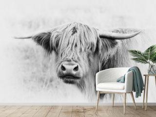 Schottisches Hochlandrind auf der Weide, Highland Cow