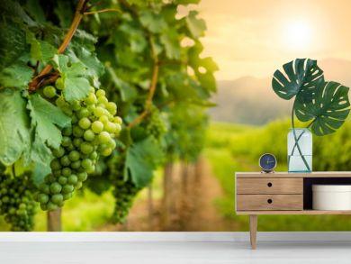 Grapes in vineyard in Wachau valley, winegrowing area, Lower Austria. Europe.