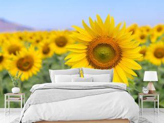 Beautiful sunflower  field on summer