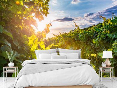 Sunny vineyard in Vipav