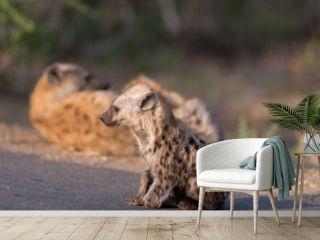 Hyena puppy, Hyena pup, baby hyena in the wilderness of Africa