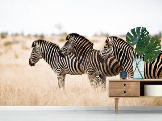 Zebra in the wilderness of Africa