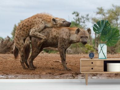spotted hyena mating