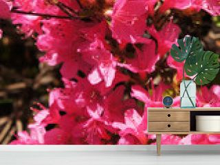 Azalea japonica or rhododendron japonicum red flowers vertcial