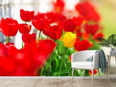Tulips in flower beds in the garden in spring
