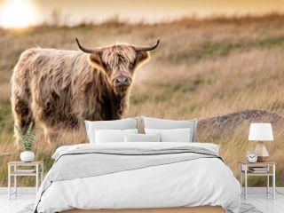 Highland Cow Sunset