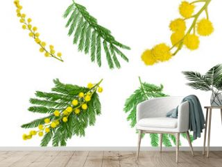 Twigs of mimosa with fluffy yellow flowers and green leaves on white background