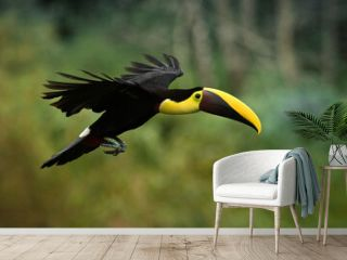 Yellow-throated (Black-mandibled) Toucan - Ramphastos ambiguus  is a large toucan in the family Ramphastidae found in Central and northern South America. Flying black and yellow bird in the forest