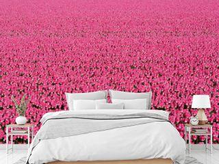 Flower field full of pink tulips near the village of Petten in the Netherlands.