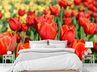 Tulips in the sunset background