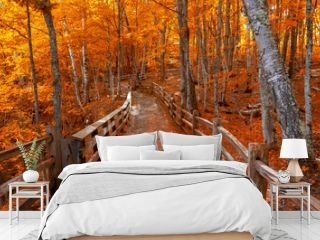 Bright autumn trees along boardwalk in late autumn in Michigan upper peninsula