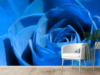 blue rose close-up, flower head background