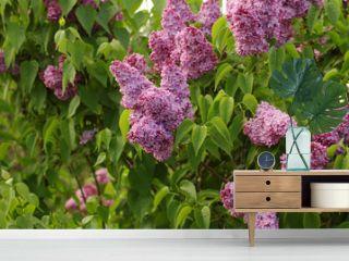 purple lilac 6629