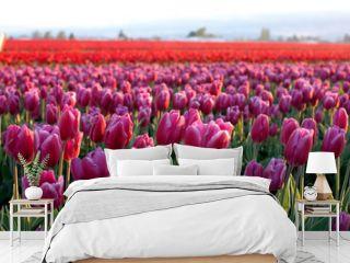 tulip fields no.2