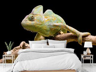 Yemen/Veiled Chameleon