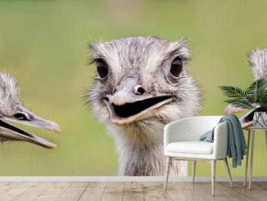 Ostrich group portrait