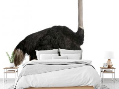 Male ostrich standing in front of a white background