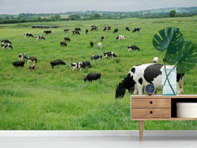 Friesian (Holstein) dairy cows grazing on lush green pasture