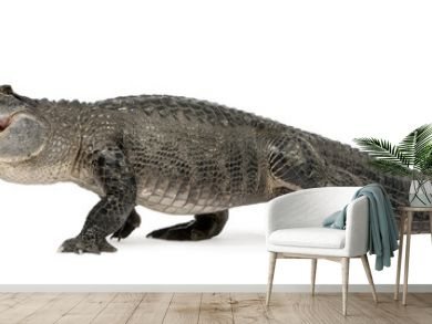 American Alligator in front of a white background