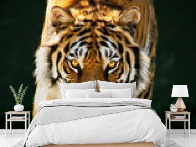 tiger walking staring eyes Tiger Panthera tigris altaica