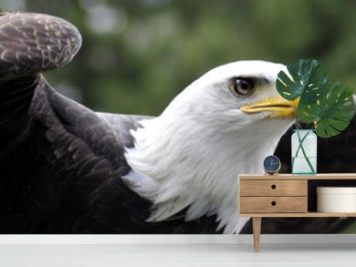 Panorama of Bald Eagle readying for flight
