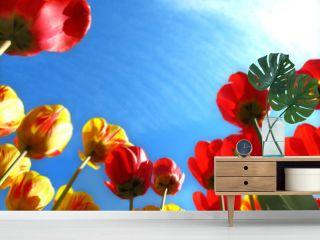 Spring flowers, tulip