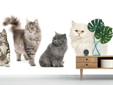 Group of cats in a row : Norwegian, Siberian and persian cat