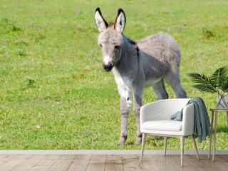 little gray donkey on pasture