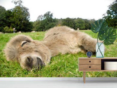 Sleeping donkey
