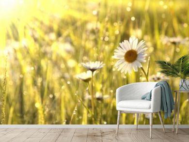 Spring daisies at dawn