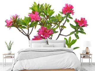 Rhododendron naturel