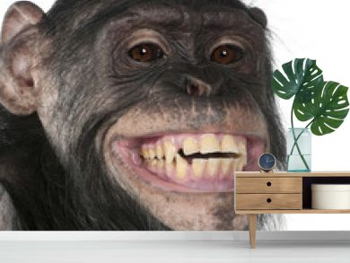 Close-up of Mixed-Breed monkey between Chimpanzee and Bonobo