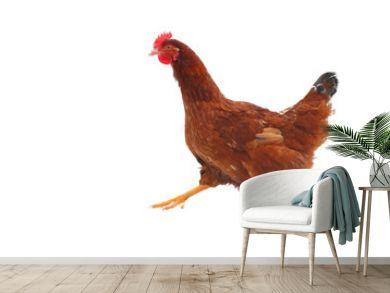 Running hen - isolated