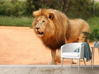 Afrikanischer Löwe mit Mähne