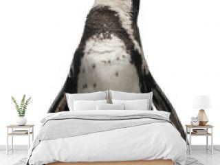 Front view of Humboldt Penguin, standing