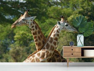 some Giraffes in Africa