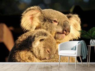 Koala is holding her sleeping joey