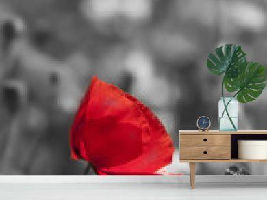 poppy flower in detail monochromatic picture
