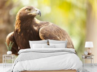 California Golden Eagle
