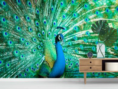 Portrait of peacock with feathers out