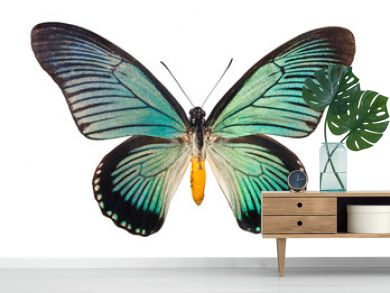 Butterfly Papilio Zalmoxis