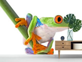 red eyed tree frog isolated