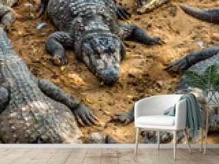 crocodile alligator