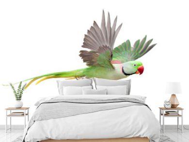 Flying big green ringed or Alexandrine parakeet