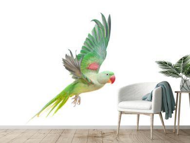 Big green ringed or Alexandrine parakeet